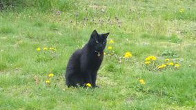 Zwarte Kat op een Gebied van Paardebloemen Royalty-vrije Stock Afbeeldingen
