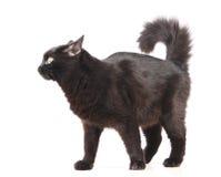 Zwarte kat op het wit Stock Afbeelding