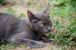 Zwarte kat Thailand Stock Afbeelding