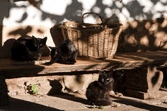 Zwarte katten Royalty-vrije Stock Foto