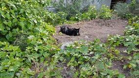 Zwarte katten Stock Foto's