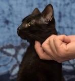 Zwarte katten krassende hals Stock Fotografie
