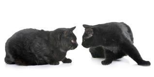 Zwarte katten in studio stock fotografie