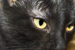 Zwarte kattenclose-up Stock Afbeelding
