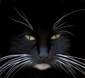 Zwarte kattenclose-up Stock Afbeeldingen