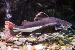 Zwarte katvis Stock Afbeelding