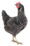 Zwarte kip Royalty-vrije Stock Fotografie