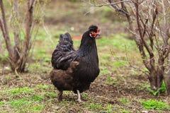Zwarte Kip in de Tuin Landbouwtijd Vee en gevogelte stock foto