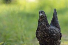 Zwarte kip die zich in een een landbouwbedrijfgebied en ruimte bevinden royalty-vrije stock foto's