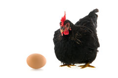 Zwarte kip met ei op witte achtergrond Royalty-vrije Stock Foto