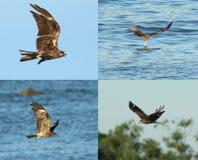 Zwarte kite_02 Royalty-vrije Stock Fotografie