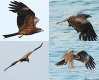 Zwarte kite_03 Stock Foto