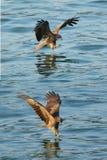 Zwarte kite_04 stock foto