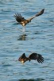 Zwarte kite_05 stock foto