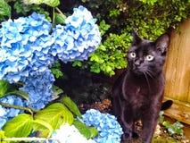 Zwarte Kitten Exploring een Hydrangea hortensia stock foto's