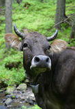 Zwarte koe Stock Foto