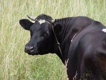 Zwarte koe Royalty-vrije Stock Afbeelding