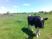 Zwarte koe Royalty-vrije Stock Afbeeldingen