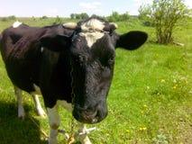 Zwarte koe Royalty-vrije Stock Fotografie