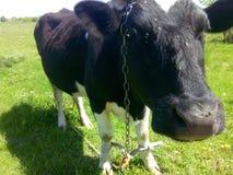 Zwarte koe Royalty-vrije Stock Foto's