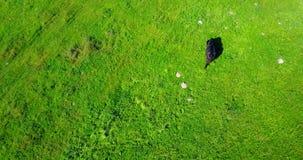 Zwarte koe op groene grasachtergrond stock videobeelden