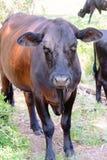 Zwarte koeien die op een boerderij met gras en bomen zwerven royalty-vrije stock fotografie