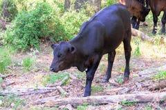 Zwarte koeien die op een boerderij met gras en bomen zwerven stock foto's