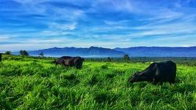 Zwarte koeien in gelukkig landbouwbedrijf stock fotografie