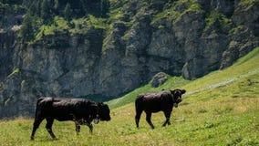 Zwarte koeien in Zwitserse Alpen royalty-vrije stock afbeelding