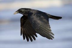 Zwarte Kraai, ворона мяса, corone Corvus стоковое фото