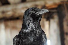 Zwarte Kraai royalty-vrije stock fotografie
