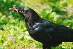 Zwarte kraai stock fotografie