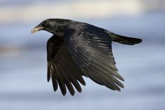 Zwarte Kraai, Carrion Crow, corone del Corvus foto de archivo