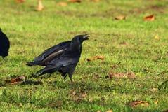Zwarte kraai die graan eten stock foto's