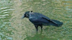 Zwarte kraai die water van het baden genieten stock footage