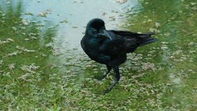 Zwarte kraai die water van het baden genieten stock video