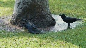Zwarte kraai die water van het baden genieten stock videobeelden