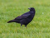 Zwarte Kraai op groene grasachtergrond royalty-vrije stock foto
