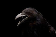 Zwarte kraai in zwarte royalty-vrije stock foto's
