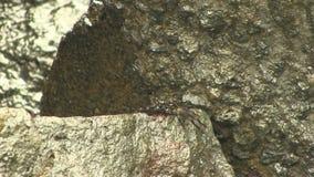 Zwarte Krab die zich op Natte Rotsen Kona Hawaï bewegen stock footage