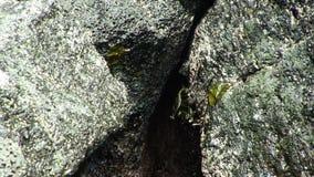 Zwarte Krab op de Vulkanische Kust van Rotskona Hawaï stock footage