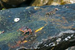 Zwarte krab op natte rotsoppervlakte Stock Foto