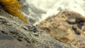 Zwarte Krab op Rots met Gele Installatiesgolven op Achtergrond stock video