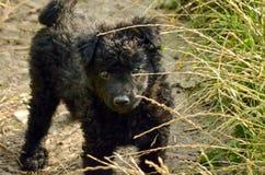 Zwarte Kroatische de herdershond van het hondpuppy Royalty-vrije Stock Afbeelding