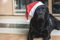 Zwarte Labrador royalty-vrije stock foto's