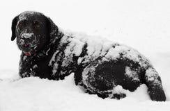 Zwarte Labrador behandelde hondsneeuw Stock Afbeelding