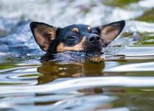 Zwarte Labrador die op een koude dag zwemmen Stock Fotografie