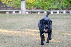 Zwarte Labrador die op grond, groen gras lopen stock foto's