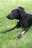 Zwarte Labrador hond op gras Stock Foto