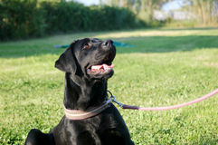 Zwarte Labradorzitting op leiband Stock Foto's